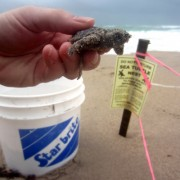 Sea Turtle Hatchling Rescue